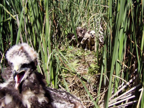 Hnízdo na hladině rybníka