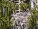 Kroužkování mláďat volavky popelavé