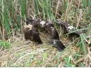 Hnízdo s odrostlými mláďaty