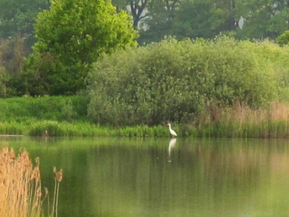 Volavka bílá